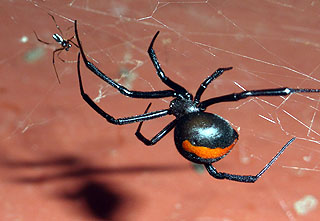 A Red Back Spider (Latrodectus hasseltii) Chris encountered whilst in Australia. The Female is the larger spider, the tiny male sharing the web.